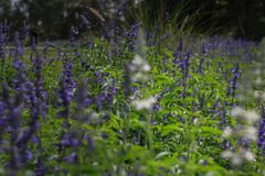 Beautiful lavender type salvia nemorosa. In the garden royalty free stock images