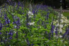 Beautiful lavender type salvia nemorosa. In the garden stock photos