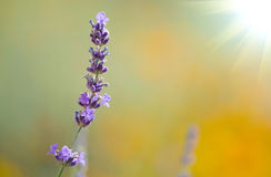 Beautiful lavenders Royalty Free Stock Photo