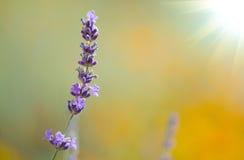 Beautiful lavenders Royalty Free Stock Photo