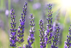 Beautiful lavenders Stock Images