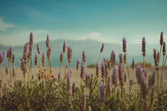 Beautiful Lavenders. In the dawn near the famous Erhai Lake Stock Photography