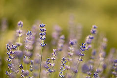 Beautiful lavenders Royalty Free Stock Photography