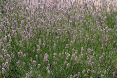 Beautiful lavenders in a field Royalty Free Stock Images
