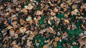 Beautiful leaf background in autumn, on green grass fallen brown leaves of trees, in November the city in the park. Stock Photos