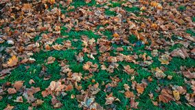 Beautiful leaf background in autumn, on green grass fallen brown leaves of trees, in November the city in the park. Stock Images