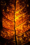 Beautiful Leaf Background. A Leaf with beautiful colors and details Stock Photography