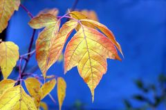 A beautiful leaf of Canadian maple on a blue background. royalty free stock images