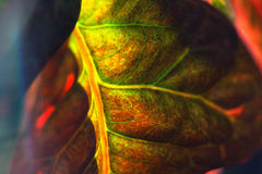 Beautiful leaf croton plant Royalty Free Stock Photos