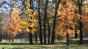 Beautiful leaf fall in autumn park or forest blown by wind stock footage