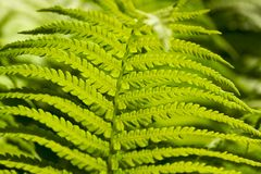 green young fern Royalty Free Stock Photos