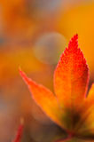 Beautiful leaf of maple japan. Closeup on a part of a red leaf of maple japan royalty free stock photos