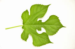 Beautiful leaf and veins Royalty Free Stock Photo