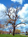 Beautiful leafless tree. Contrasts partially cloudy blue sky Stock Image