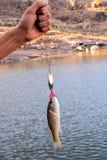 Largemouth Bass fish. Beautiful leaping Largemouth Bass Micropterus salmoides on a fisherman's line stock photography
