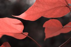 Beautiful leaves in colour of living coral stock images