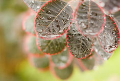 Beautiful leaves of cotinus coggygria 'Royal Royalty Free Stock Photography