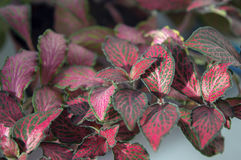 Beautiful leaves on fittonia with red veins Stock Photos
