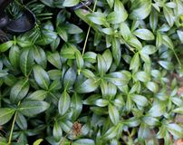 Beautiful leaves of the green plant, similar to lilies,. Plants in the garden, ornamental plant, gardens and parks, nature, close-up leaves, landscape design stock image