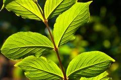 Beautiful leaves of a hazelnut tree Stock Photos