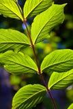 Beautiful leaves of a hazlenut tree Royalty Free Stock Photography