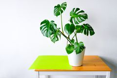 Beautiful leaves of Monstera on a background of white walls. Monstera in a modern interior. Flowers in the interior. The concept o
