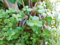 Little desertic leaves from an unusual plant Royalty Free Stock Photography