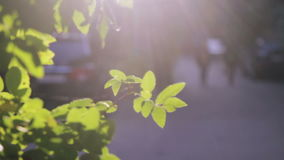 Beautiful leaves at sun backlight stock video