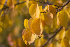 Beautiful leaves on a tree Royalty Free Stock Photos