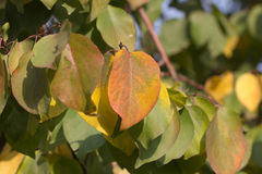 Beautiful leaves on a tree Royalty Free Stock Image