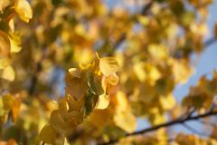 Beautiful leaves on a tree in autumn.  Stock Image