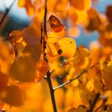 Falls Golden Gleam. Beautiful leaves turning a golden and orange color from the changes in season royalty free stock photos