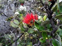 Beautiful Lehua blossoms of Hawaii stock photos