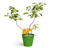 Beautiful Lemon Tree Royalty Free Stock Photos