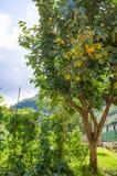 Lemon tree. Beautiful lemon tree growing outdoor royalty free stock photos