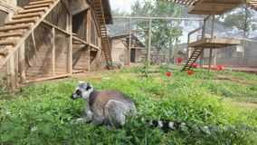 A beautiful lemur lies on the grass and chews the greens growing on the ground.  stock video