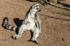 Beautiful lemur sitting on the floor begging for foot stock image