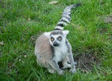 Beautiful lemur sitting on grass and looking to the side in spring park royalty free stock photography