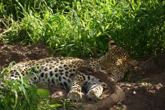 Beautiful Leopard in Botswana watching game Royalty Free Stock Images