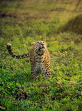 Beautiful Leopard In Dreamy Jungle Royalty Free Stock Photo