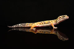 A beautiful leopard gecko Stock Photography