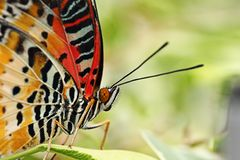 Beautiful  leopard lacewing butterfly Stock Photos