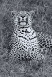 Beautiful leopard laying down on dry grass resting artistic conv Stock Photos