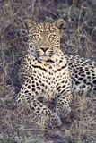 Beautiful leopard laying down on dry grass resting artistic conv Royalty Free Stock Images