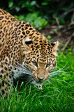 Beautiful leopard Panthera Pardus Royalty Free Stock Photography