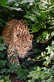 Beautiful leopard Panthera Pardus Stock Photos