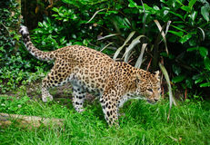 Beautiful leopard Panthera Pardus Royalty Free Stock Images