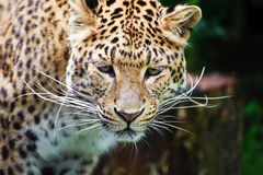 Beautiful leopard Panthera Pardus Stock Photo