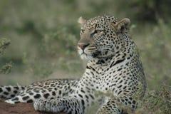 A Leopard Panthera Pardus. Chui royalty free stock images