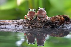 Beautiful Leopard in reflection. Beautiful two Dumpy tree frog in reflection Stock Images
